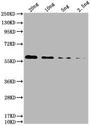 Western Blotting(WB) 2- 6*His Monoclonal Antibody