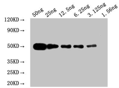Western Blotting(WB) - Myc tag Monoclonal antibody