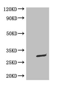 Western Blotting(WB) - GFP Monoclonal Antibody