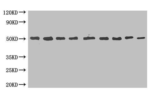 Western Blotting(WB) - MBP Monoclonal Antibody