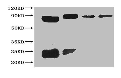 Western Blotting(WB) - Sumo tag Monoclonal Antibody