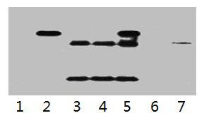 Immunoprecipitation(IP) 1- HA-Tag Monoclonal Antibody