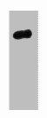Western Blotting(WB) 1- HA-Tag Monoclonal Antibody