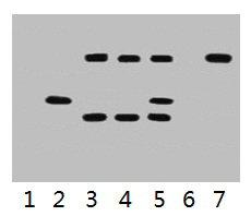 Immunoprecipitation(IP) 1- VSV-G-Tag Monoclonal Antibody