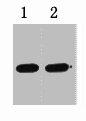 Western Blotting(WB) 1- GST-Tag Monoclonal Antibody