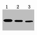 Western Blotting(WB) 1- T7-Tag Monoclonal Antibody
