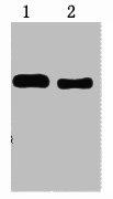 Western Blotting(WB) 1- Trx-Tag Monoclonal Antibody