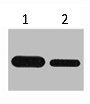Western Blotting(WB) 1- Flag-Tag Monoclonal Antibody