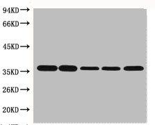 Western Blotting(WB) 1- GAPDH Monoclonal Antibody