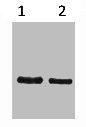 Western Blotting(WB) 1- SRT-Tag Monoclonal Antibody