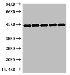 Western Blotting(WB) 1- ACTB Monoclonal Antibody