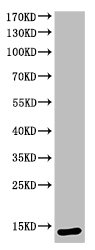 Western Blotting(WB) 1- Cleaved-CASP3 (D175) Antibody