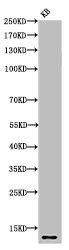 Western Blotting(WB) 1- Acetyl-Histone H4 (K8) Antibody