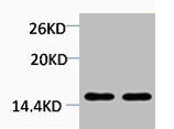 Western Blotting(WB) 1- Di-Methyl-Histone H4 (Lys20) Antibody