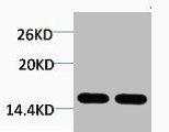 Western Blotting(WB) 1- Tri-Methyl-Histone H4 (Lys20) Antibody