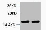 Western Blotting(WB) 1- Di-Methyl-Histone H4 (Lys59) Antibody