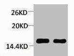 Western Blotting(WB) 1- Tri-Methyl-Histone H4 (Lys59) Antibody
