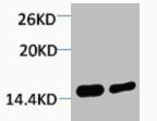 Western Blotting(WB) 1- Di-Methyl-Histone H4 (Lys79) Antibody