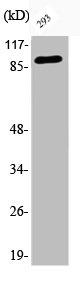 Western Blotting(WB) 1- Phospho-CTNNB1 (S37) Antibody