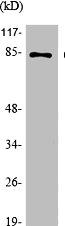 Western Blotting(WB) 2- Phospho-CTNNB1 (S37) Antibody