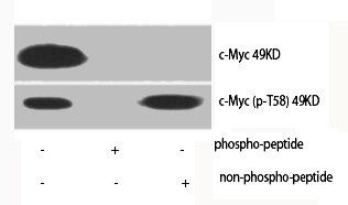 Western Blotting(WB) 2- Phospho-MYC (T58) Antibody