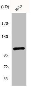 Western Blotting(WB) 1- Phospho-NFKB1 (S932) Antibody