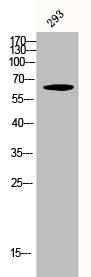 Western Blotting(WB) 1- Phospho-RELA (S276) Antibody