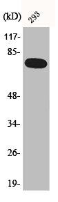 Western Blotting(WB) 1- Phospho-RELA (S468) Antibody
