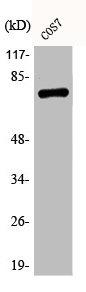 Western Blotting(WB) 1- Phospho-RELA (S529) Antibody