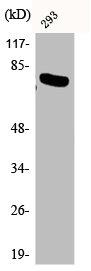 Western Blotting(WB) 1- Phospho-RELA (T254) Antibody
