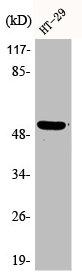 Western Blotting(WB) 1- Phospho-TP53 (S15) Antibody