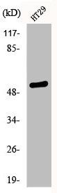 Western Blotting(WB) 1- Phospho-TP53 (S33) Antibody