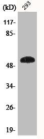 Western Blotting(WB) 1- Phospho-TP53 (S46) Antibody