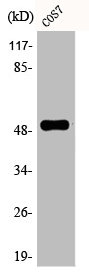 Western Blotting(WB) 1- Phospho-TP53 (S6) Antibody