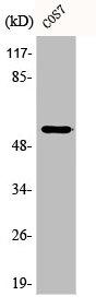 Western Blotting(WB) 1- Phospho-TP53 (S9) Antibody