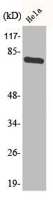 Western Blotting(WB) 1- Phospho-TP73 (Y99) Antibody