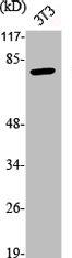 Western Blotting(WB) 2- Phospho-TP73 (Y99) Antibody