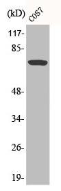 Western Blotting(WB) 1- Phospho-RAF1 (S259) Antibody