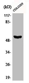 Western Blotting(WB) 1- Phospho-TP53 (S37) Antibody