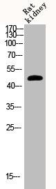 Western Blotting(WB) 1- Phospho-GSK3B (S9) Antibody