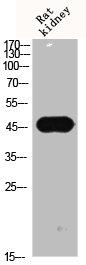 Western Blotting(WB) 2- Phospho-GSK3B (S9) Antibody