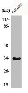 Western Blotting(WB) 1- Phospho-CDK2 (T160) Antibody