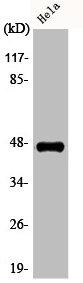 Western Blotting(WB) 1- Phospho-CASP9 (T125) Antibody