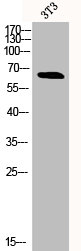 Western Blotting(WB) 1- Phospho-RELA (S311) Antibody