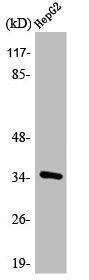 Western Blotting(WB) 1- ANXA3 Antibody