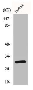 Western Blotting(WB) 1- BCL2L1 Antibody