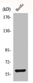 Western Blotting(WB) 1- BMP2 Antibody