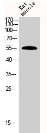 Western Blotting(WB) 1- BMP7 Antibody