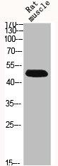 Western Blotting(WB) 2- BMP7 Antibody