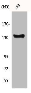 Western Blotting(WB) 1- ABL1 Antibody